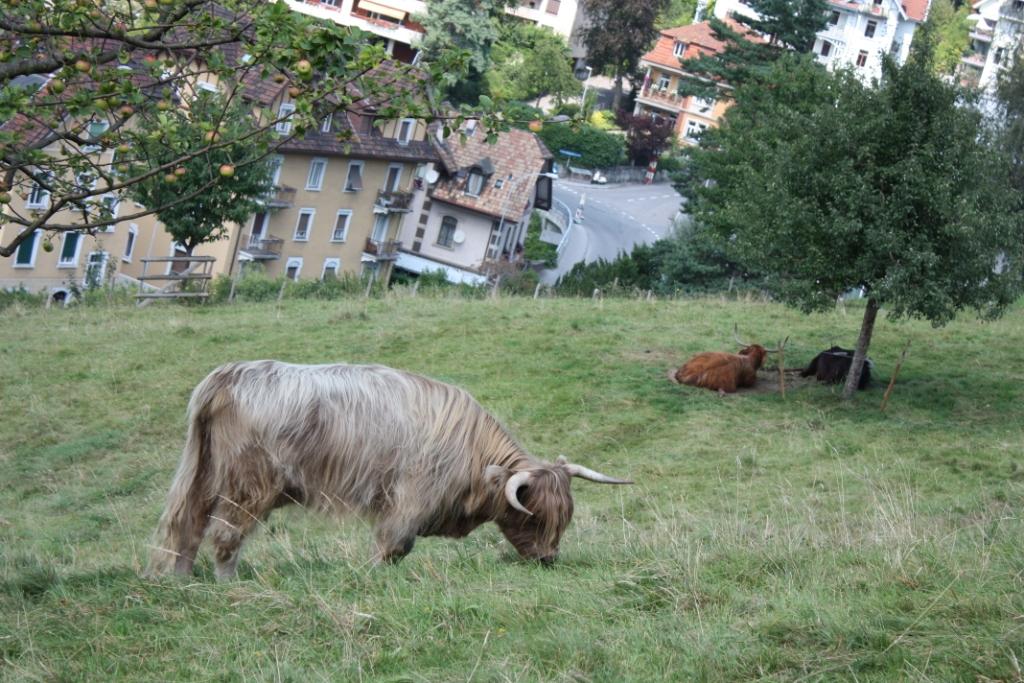 мохнатая корова