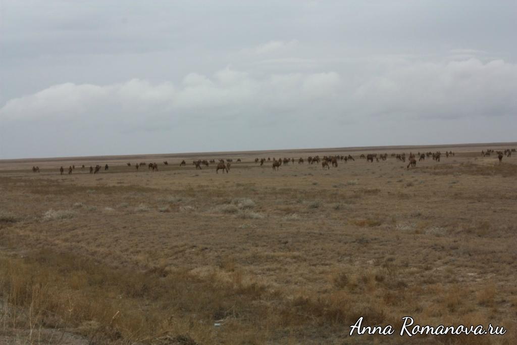 Верблюды-в-Казахстане