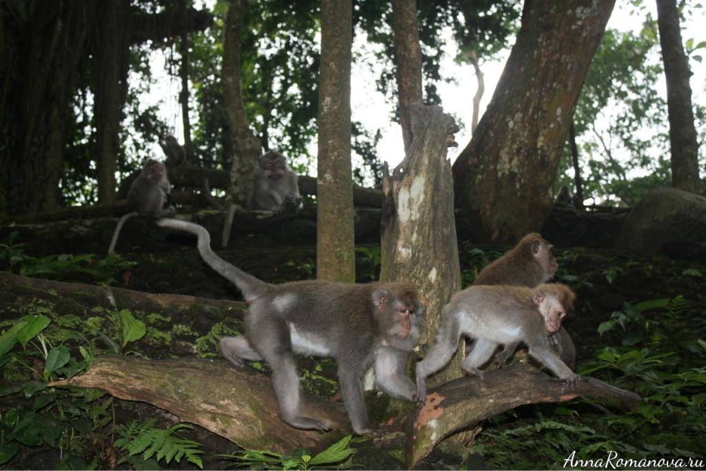 макаки лес обезьян в убуде