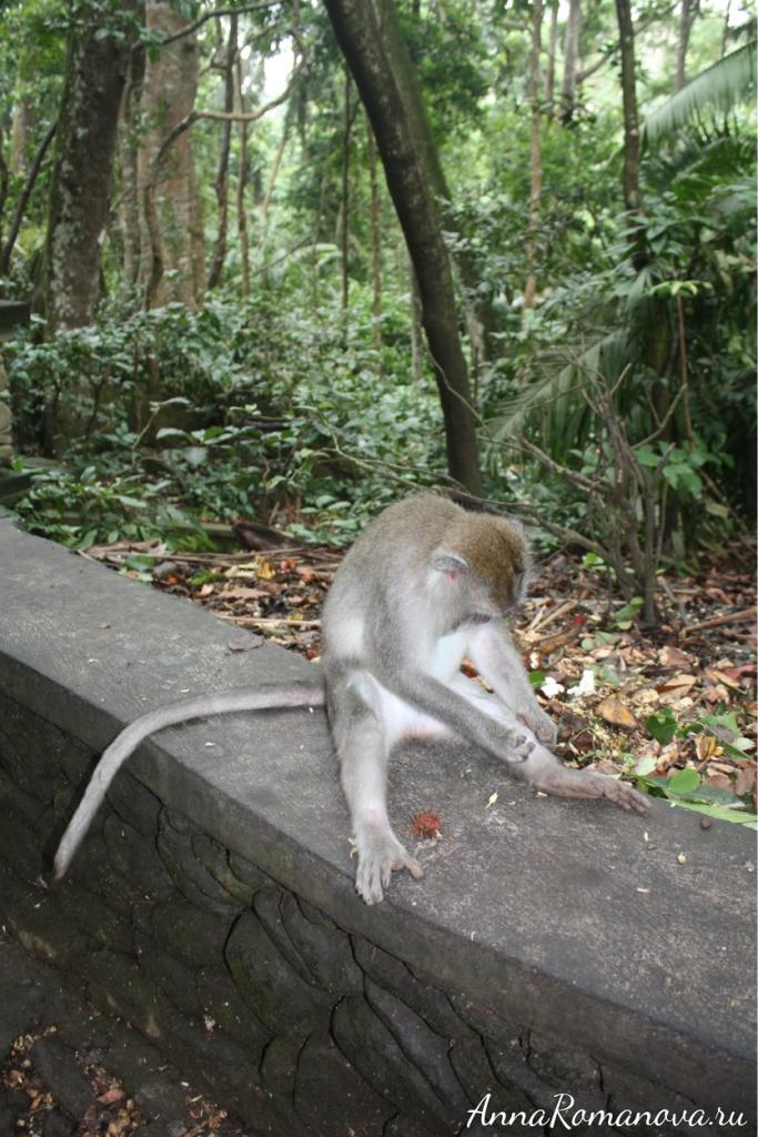 макака в лесу обезьян на бали