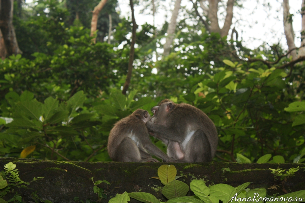 макаки в лесу обезьян на бали