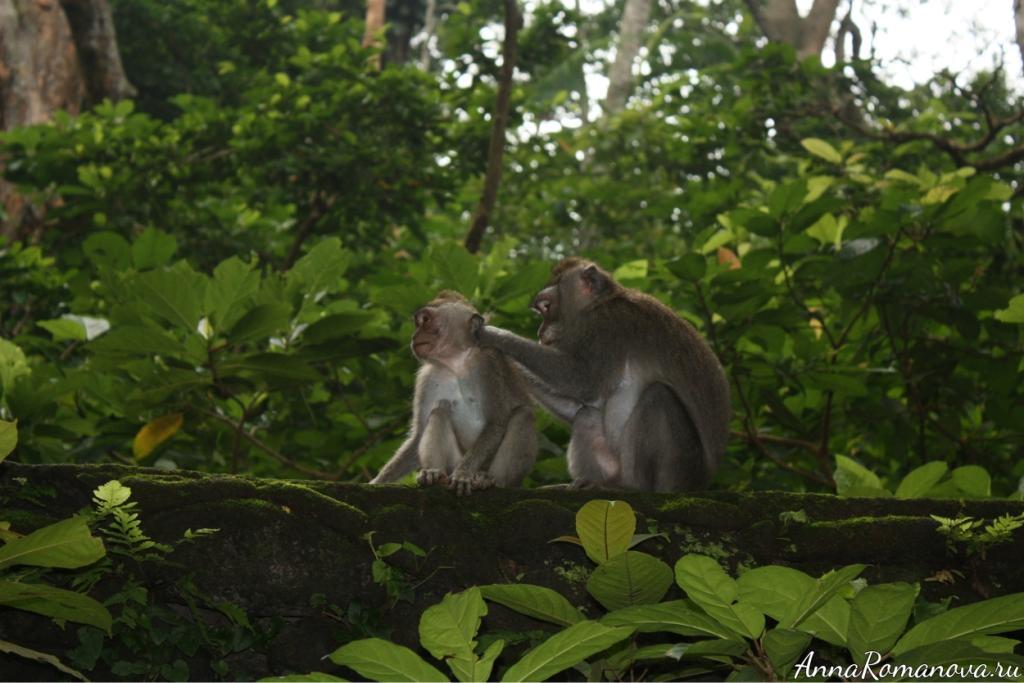макаки в лесу обезьян в убуде