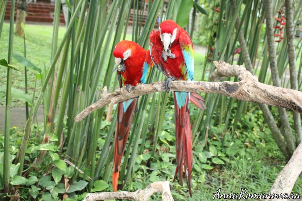 красные попугаи на бали
