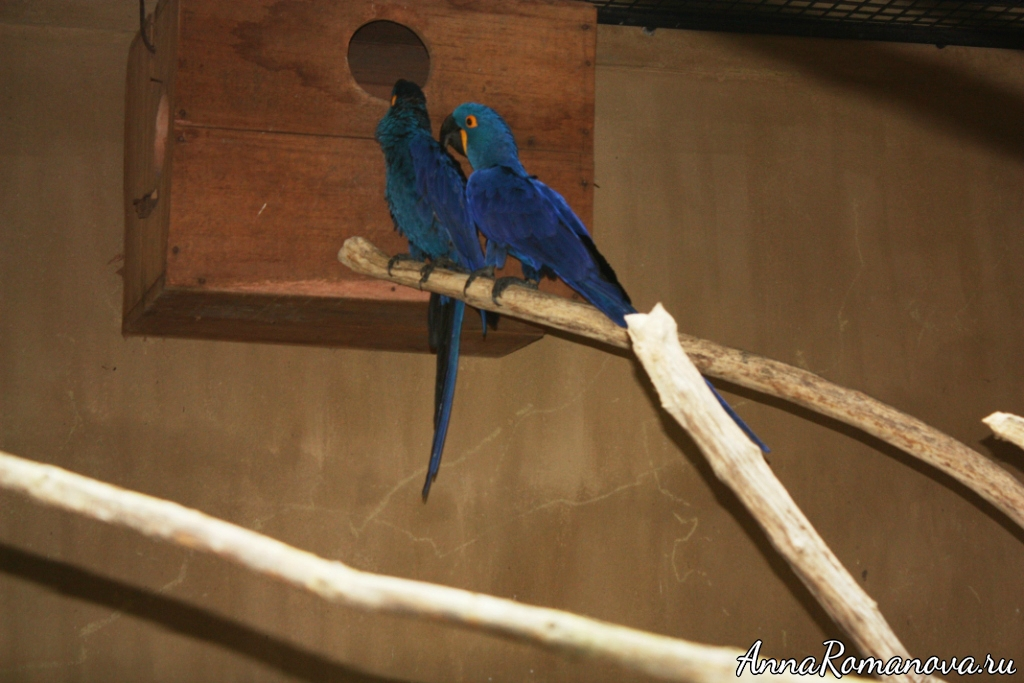 синие птицы