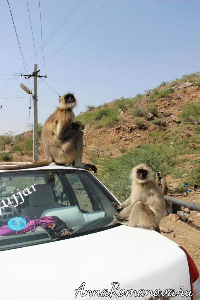 обезьяны в Индии