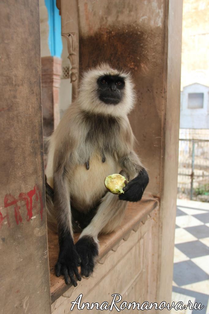 обезьяна в Индии