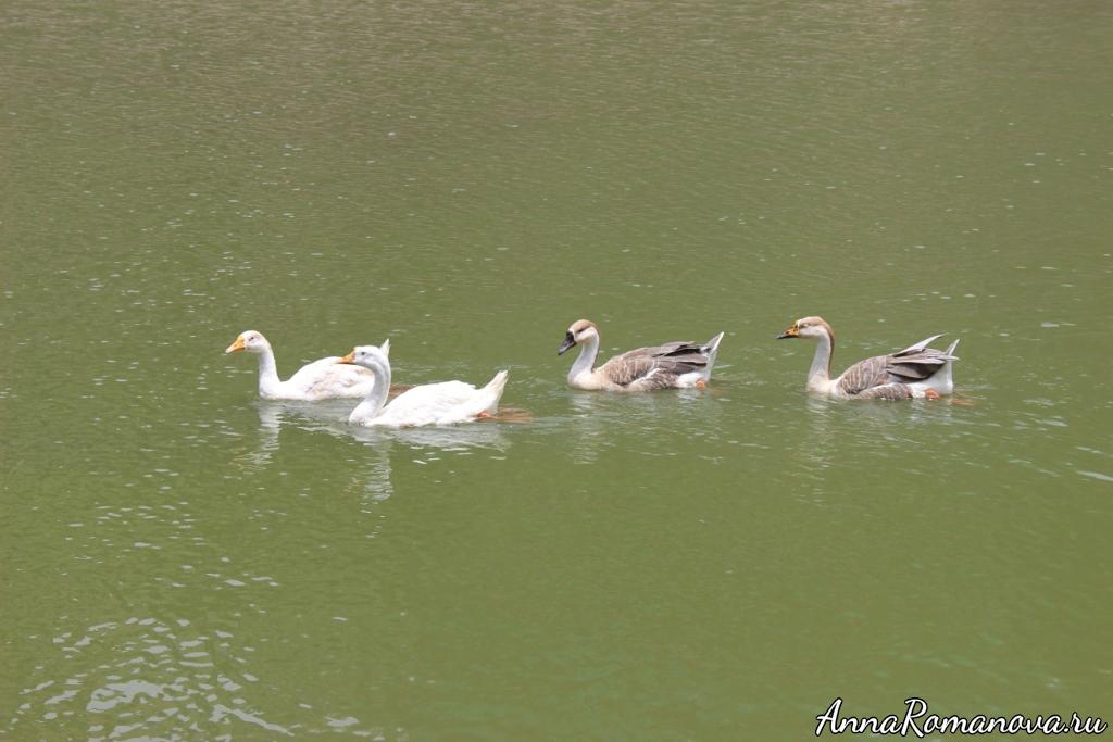 Лебеди и утки в Мумбаи