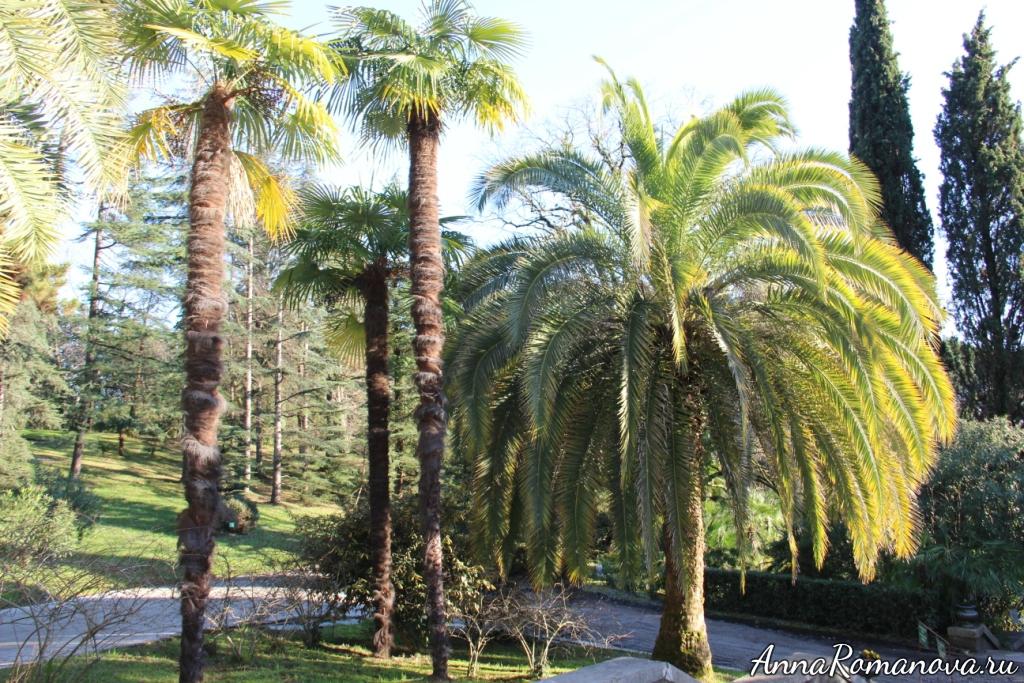 пальмы в Сочи дендрарий
